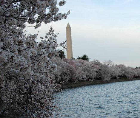 cherry blossoms wash monument